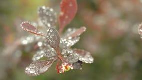 Primer de las hojas jovenes del Berberis en jardín metrajes