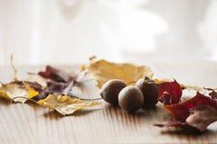 Primer de las hojas de otoño y de las bellotas secas coloridas del roble rojo septentrional con el fondo blanco Fotos de archivo