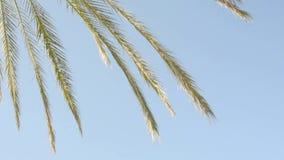 Primer de las hojas de palma contra el cielo azul metrajes