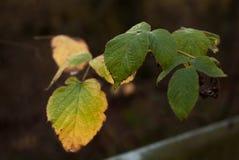 Primer de las hojas que consiguen marrón y rojo Imagen de archivo libre de regalías