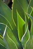 Primer de las hojas retroiluminadas de la planta de siglo Imagen de archivo