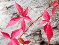 Primer de las hojas rojas de una hiedra foto de archivo