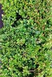 Primer de las hojas verdes al aire libre como fondo de la textura Imágenes de archivo libres de regalías