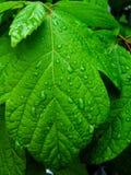 Primer de las hojas verdes cubiertas con gotas de la lluvia fotografía de archivo
