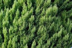 Primer de las hojas verdes de la Navidad de los árboles del Thuja en fondo horizontal verde imagen de archivo