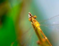 Primer de las macros de una libélula en una rama Fotos de archivo