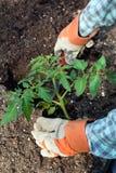 Primer de las manos que plantan la planta de tomate grande Imagen de archivo