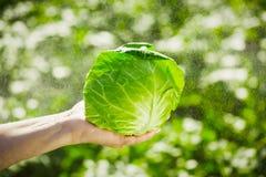 Primer de las manos que sostienen la col en un fondo de verdes borrosos Imagen de archivo