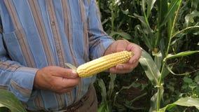 Primer de las manos de un granjero Rotating Corn On la mazorca, comprobando la maduración almacen de video