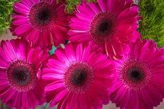 Primer de las margaritas rosadas brillantes del gerbera en un fondo verde de la primavera Fotos de archivo libres de regalías