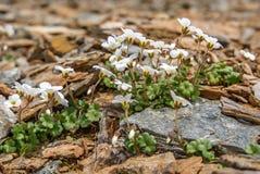 Primer de las montañas de las piedras de las flores blancas Fotos de archivo