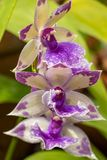 Primer de las orquídeas púrpuras de Zygo, foco selectivo fotos de archivo