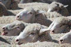 Primer de las ovejas Foto de archivo libre de regalías