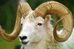 Primer de las ovejas de Dall fotos de archivo