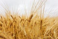 Primer de las plantas amarillas del trigo debajo de un cielo gris fotos de archivo