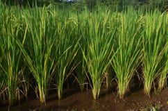 Primer de las plantas de un arroz Fotos de archivo libres de regalías