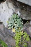 Primer de las plantas suculentas que crecen fuera del agujero en pared de la roca del ladrillo Fotografía de archivo