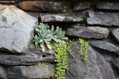 Primer de las plantas suculentas que crecen fuera del agujero en pared de la roca del ladrillo Imágenes de archivo libres de regalías