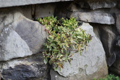 Primer de las plantas suculentas que crecen fuera del agujero en pared de la roca del ladrillo Foto de archivo