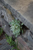 Primer de las plantas suculentas que crecen fuera del agujero en pared de la roca del ladrillo Imagenes de archivo