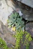 Primer de las plantas suculentas que crecen fuera del agujero en pared de la roca del ladrillo Fotografía de archivo libre de regalías