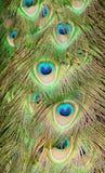 Primer de las plumas del pavo real Foto de archivo libre de regalías