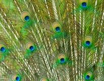Primer de las plumas hermosas del pavo real Imágenes de archivo libres de regalías