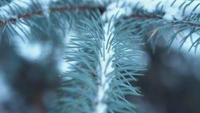 Primer de las ramas de árbol de abeto en invierno Las ramas se cubren con helada y nieve almacen de video