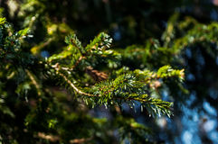 Primer de las ramas de árbol de navidad en fondo del día soleado Imagen de archivo