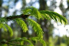Primer de las ramas del abeto con los brotes jovenes Fotografía de archivo