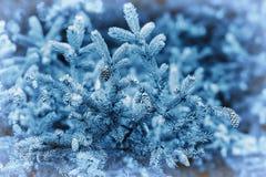 Primer de las ramas del abeto de la naturaleza La Navidad, fondo natural de la Feliz Año Nuevo, colores azules de moda por Panton Fotos de archivo