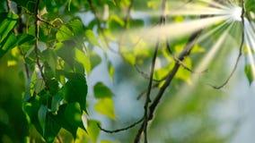 Primer de las ramas hermosas de la primavera del árbol de abedul con las hojas verdes Cantidad en tiempo real de 4K UHD Imágenes de archivo libres de regalías