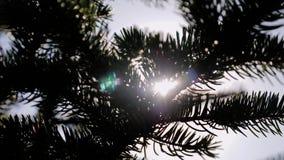 Primer de las ramas de la picea A través de las agujas haga su la manera los rayos del sol almacen de video