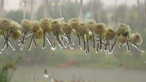 Primer de las rosas blancas y de los cristales en la lluvia almacen de metraje de vídeo