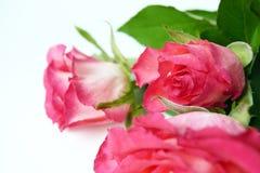 Primer de las rosas del rosa del ramo en rocío del descenso Flores frescas del jardín imagenes de archivo