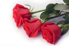 Primer de las rosas rojas aislado en un fondo blanco Imágenes de archivo libres de regalías