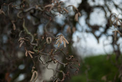 Primer de las semillas del aliso en bracnh Foto de archivo libre de regalías