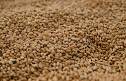Primer de las semillas del trigo foto de archivo libre de regalías