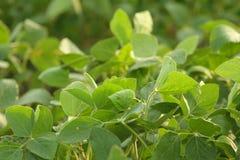 Primer de las sojas verdes Foto de archivo