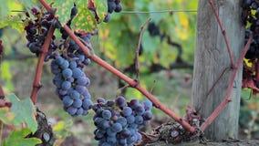 Primer de las uvas jugosas maduras para el vino rojo en la vid almacen de metraje de vídeo