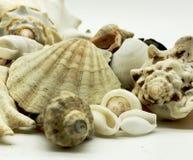Primer de las vacaciones del viaje de la playa de la estación de verano de los crustáceos de las estrellas de mar de la cáscara d Imagen de archivo libre de regalías