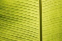 Primer de las venas de la hoja del plátano en sol tropical del mediodía Fotos de archivo libres de regalías