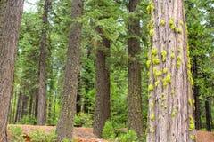 Primer de los árboles de la secoya Foto de archivo libre de regalías