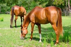 Primer de los caballos que pastan en un pequeño campo Imágenes de archivo libres de regalías