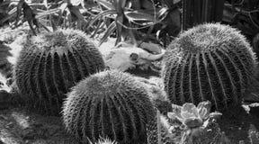 Primer de los cactus de barril Imagen de archivo libre de regalías