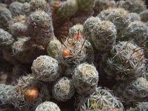 Primer de los cactus miniatura del escobaria con las flores florecientes de los jóvenes Fotografía de archivo