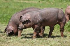 Primer de los cerdos de un Duroc-Jersey de los j?venes en el prado fotos de archivo libres de regalías