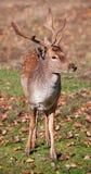 Primer de los ciervos en barbecho fotografía de archivo libre de regalías