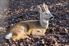Primer de los ciervos de huevas en el bosque imagen de archivo libre de regalías