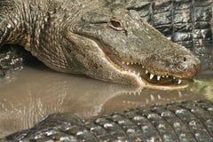 Primer de los cocodrilos Fotografía de archivo